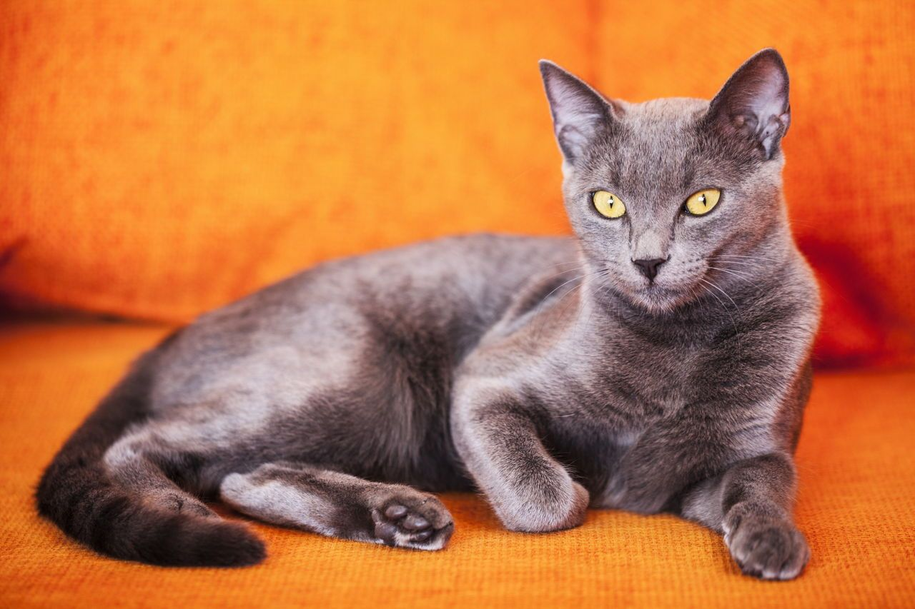 best of Peeing pictures Russian blue cat