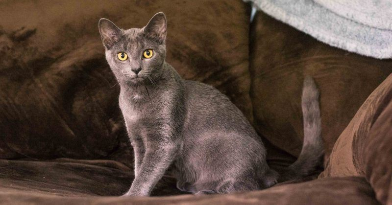 Russian blue cat peeing pictures