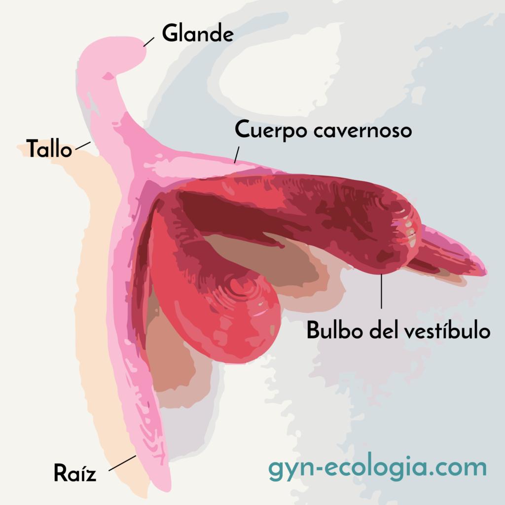 Anatomia del clitoris