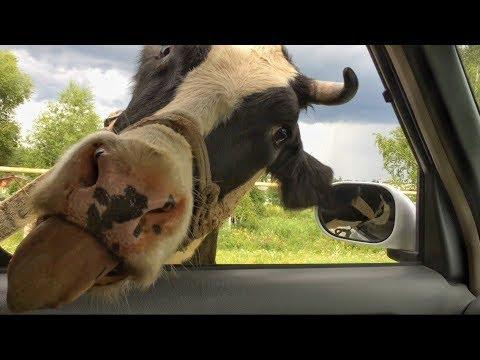 best of Lick Why do cars cows