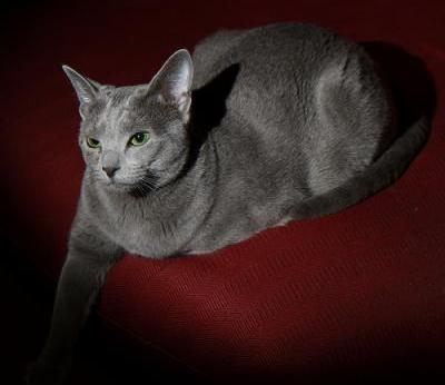 Rosebud reccomend Russian blue cat peeing pictures
