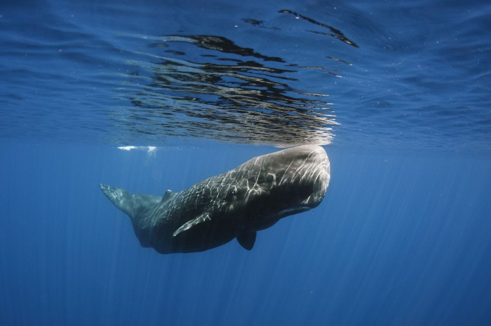 Neptune reccomend Pictures of the sperm whale
