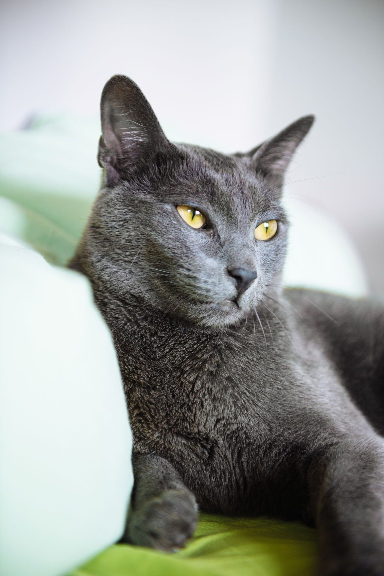 Wild R. reccomend Russian blue cat peeing pictures
