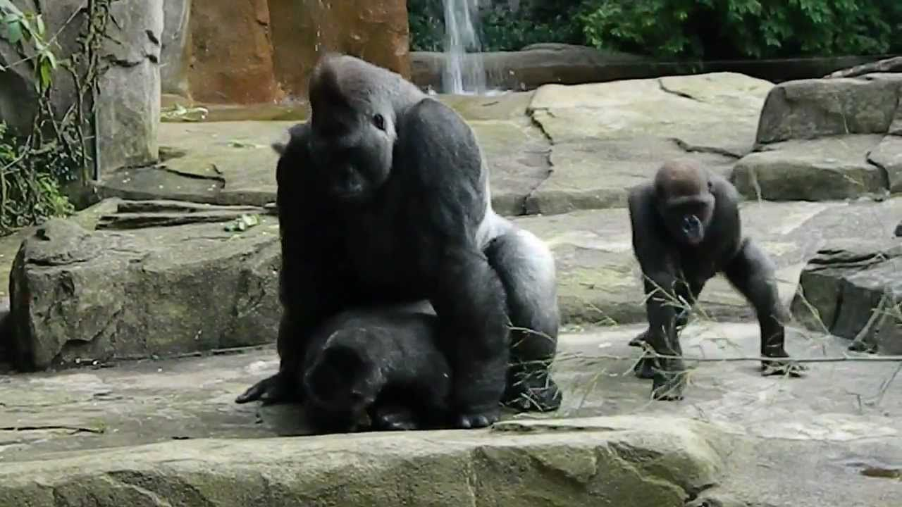Free Ape Sex Videos wild gorilla fuck woman free video download - pussy sex images.